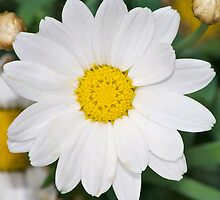 Common Daisy In Bloom by FourPointPhoto