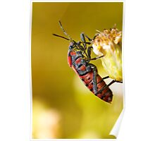 Chinch Bug (Spilostethus pandurus) Poster