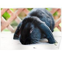 Giant Lop Eared Rabbit Poster