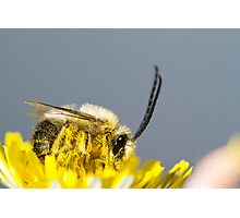 long horned bee Photographic Print