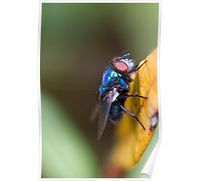blow fly Poster