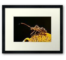 Centrocoris variegatus insect Framed Print