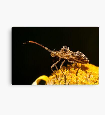 Centrocoris variegatus insect Canvas Print