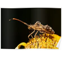 Centrocoris variegatus insect Poster