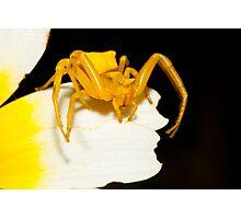 Yellow crab spider (Thomisus onustus) Photographic Print