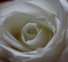 White rose for June by KSKphotography