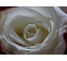 White rose for June Photographic Print