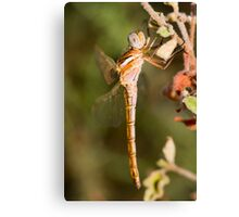 Red-veined Darter dragonfly Canvas Print