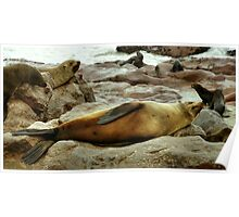 Lazy! South African Fur Seal Poster