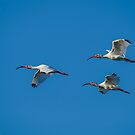Flight of the Ibis by Daniel  Parent