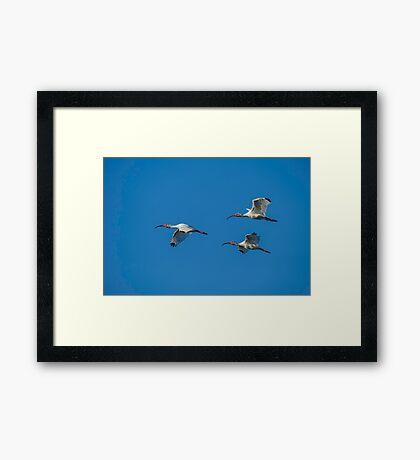 Flight of the Ibis Framed Print
