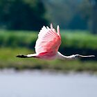 Pink Heron in flight no3 by Sylvain Dumas