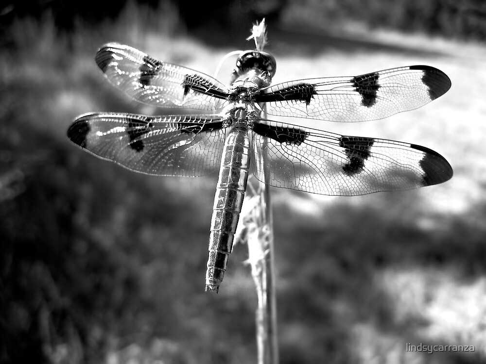 Dragonfly in Black and White by lindsycarranza