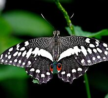 Citrus swallowtail butterfly by supergold