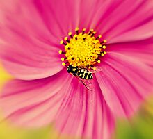 Hoverfly in the Pink by Annie Lemay  Photography