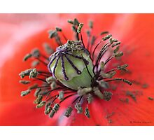 Wild poppy centre details Photographic Print