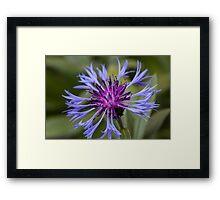 Cornflower Framed Print