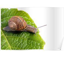 snail on white Poster
