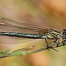Odalisque Damselfly by Robert Abraham