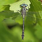 Male Turkish Clubtail by Robert Abraham