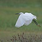 Little Egret by Robert Abraham