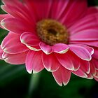 Gerbera in pink by Robyn Selem