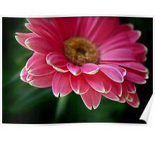 Gerbera in pink Poster