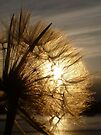 Dandelion Sunset by Vicki Spindler (VHS Photography)