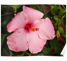 Rain drops on a pink hibiscus Poster