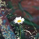 Daisy by Lorelle Gromus