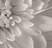 Monochrome Chrysanthemum Close-up  Sticker