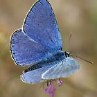 Common Blue by marens