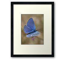 Common Blue Framed Print