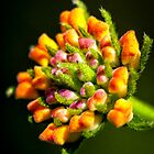 Texas Lantana by Colin Bester