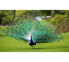 Proud Peacock Photographic Print