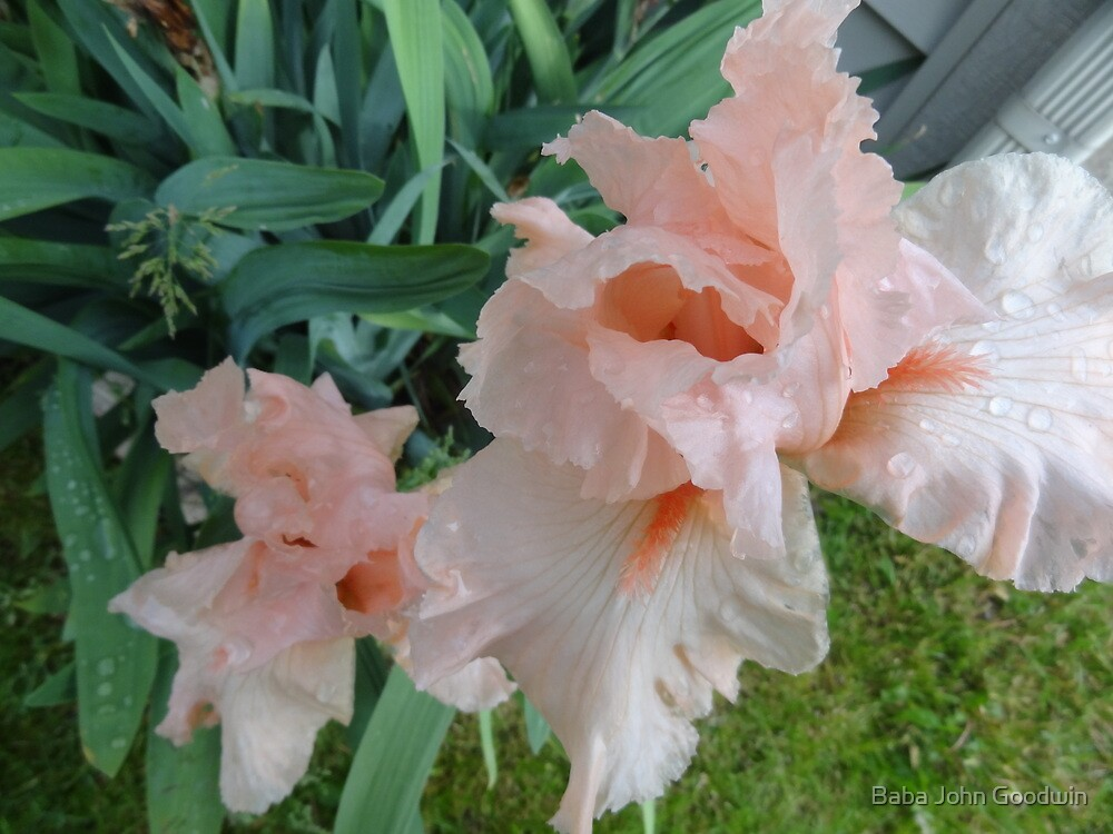 Iris in Ohio by Baba John Goodwin