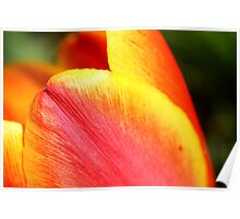 Tulip In The Morning Poster