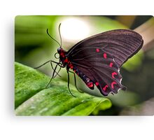 Velvet Rose Swallowtail  Metal Print