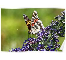American Painted Lady Poster