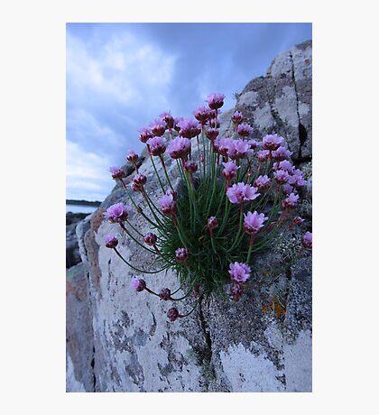 sea pink Photographic Print