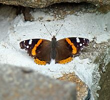 Red Admiral Butterfly - Vanessa atalanta by MotherNature
