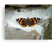 Red Admiral Butterfly - Vanessa atalanta Canvas Print