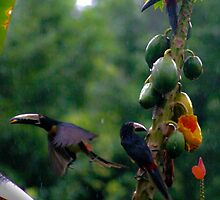 COLLARED ARACARI TOUCANETS by Derek Lowe