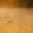 Duck, steaming ahead.   by Neville Jones