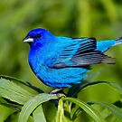 Male Indigo Bunting by John Absher