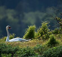 Swan in the Grass by toby snelgrove  IPA