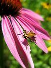 Margined Leatherwing on a Coneflower by lindsycarranza