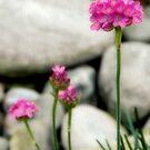 Pink Pom Pom by Sharon Woerner