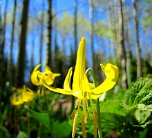 Glacier Lily & Aspen by Bill Hendricks