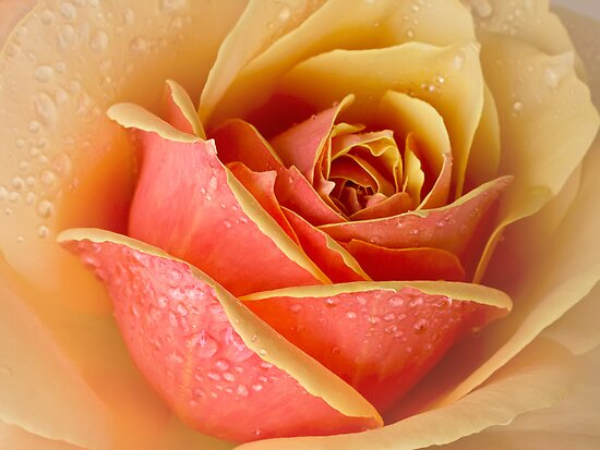 Raindrops on roses by Celeste Mookherjee
